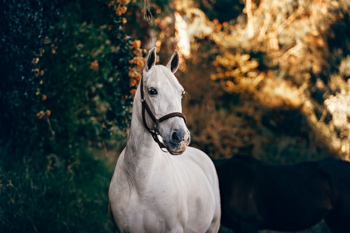 Treatment of Horse Allergies