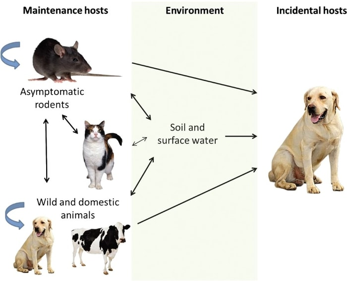 Transmission of Leptospirosis in Dogs