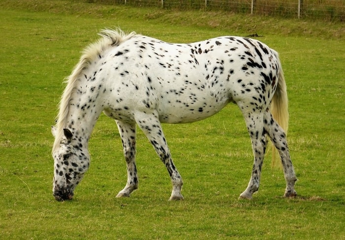 Color and Marking of Appaloosa Horse