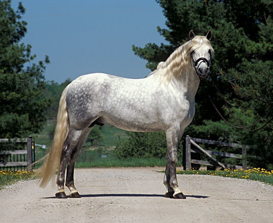 Temperament of Andalusian Horse