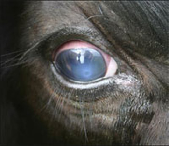 Clinical Signs of Pink Eye in Cattle