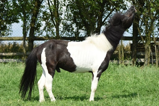 Physical Characteristics of Falabella