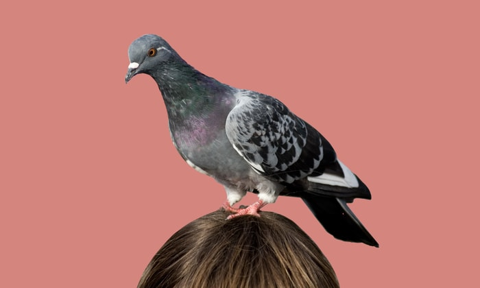 Canker in Pigeons or Trichomoniasis