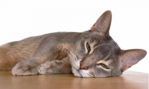 Clinical Signs of Cat Fever