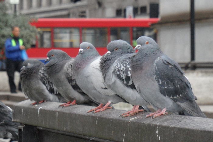 Most Common Pigeon Diseases