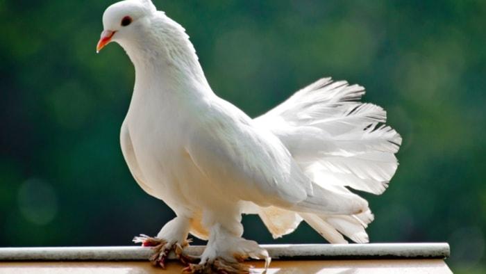Pigeon Herpesvirus Infection