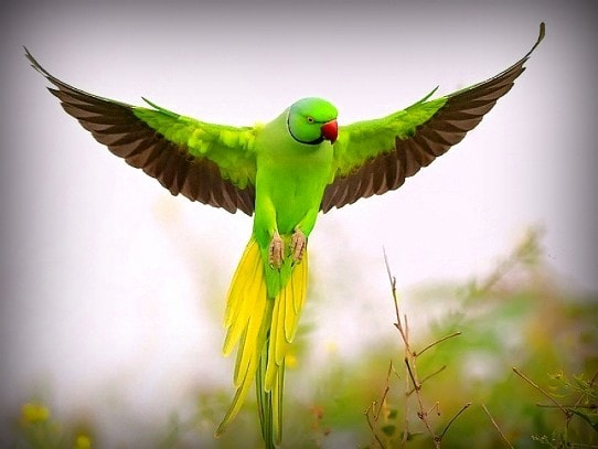 Behavior of Ringneck Parrots