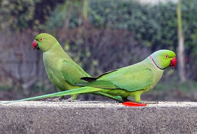 Best Pet Birds- Indian Ringneck Parrots