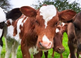 Coccidiosis in Cattle