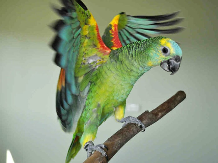 Color and Size of Amazon Parrot