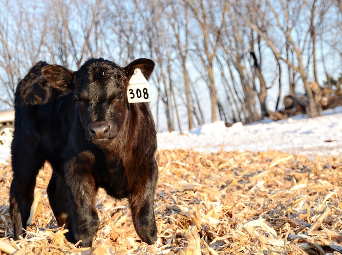 Prevention of Coccidiosis in Cattle