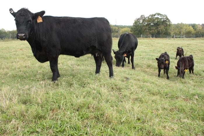 Treatment of Leptospirosis in Cattle