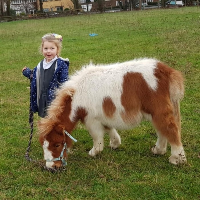 Breed Characteristics of Shetland Ponies