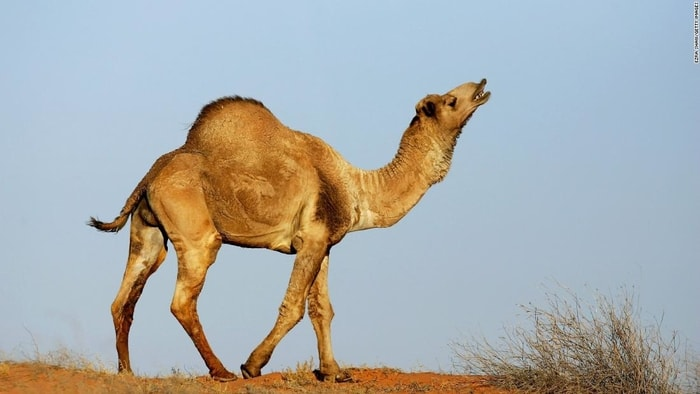 Camels Walk in the Desert