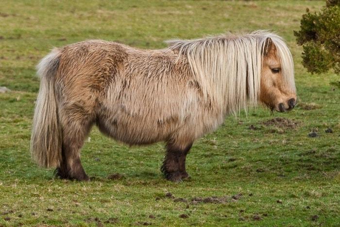 History and Origin of Shetland Pony