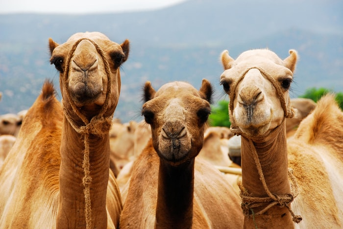 Interesting Facts on Camel