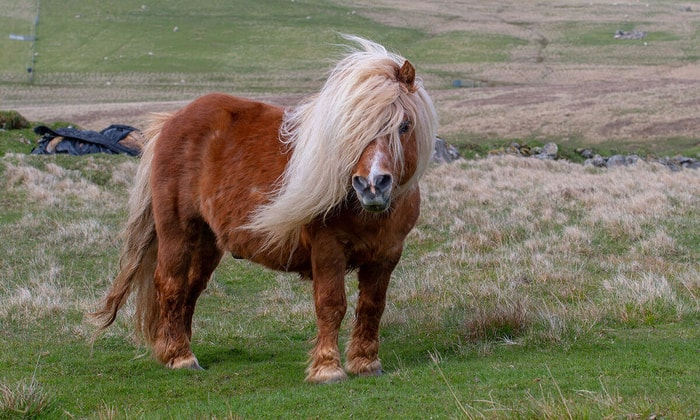 Special Features of Shetland Pony