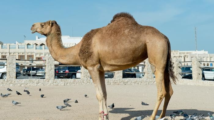 Specific RBC of Camels