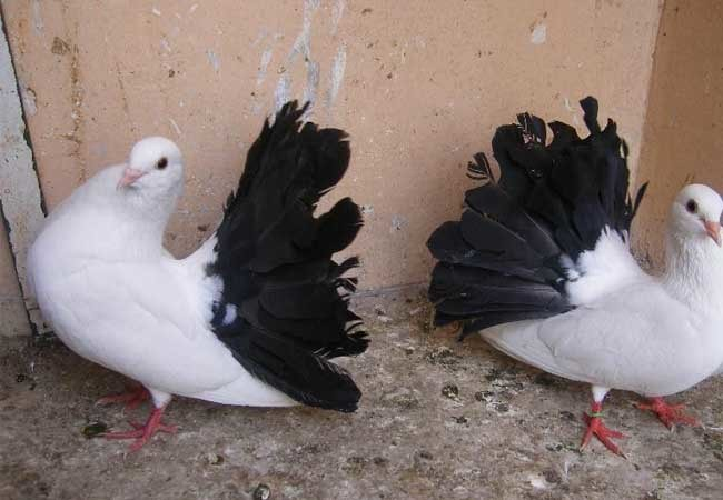 Sporting Types of Pigeons