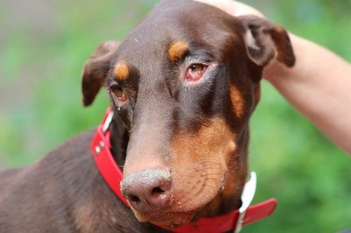 Clinical Signs of Pink eye in dogs