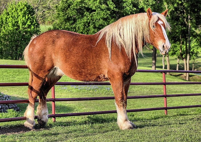 Color and Marking of Belgian Horse