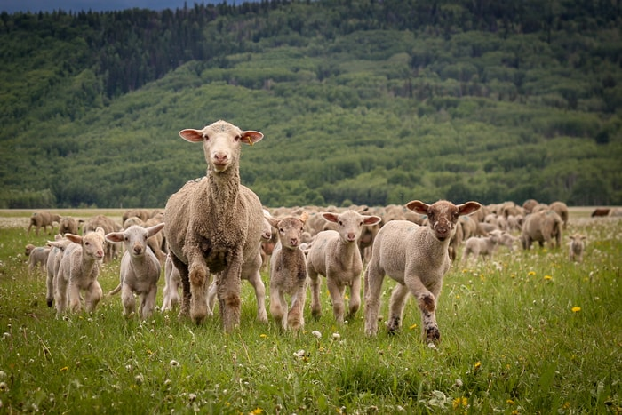 Information on Foot-rot in Sheep