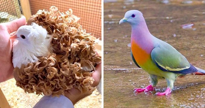 Pigeon Breeds of the World