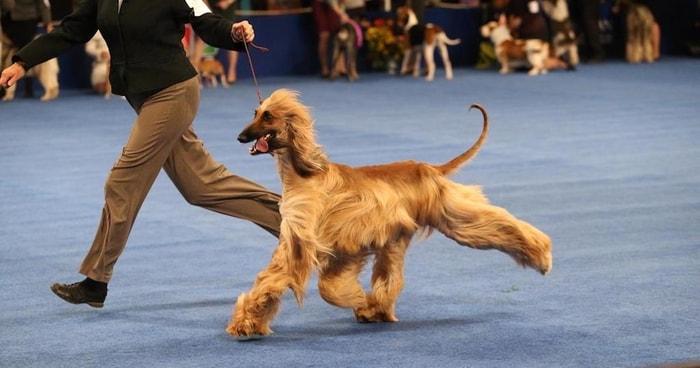 Show Dog Breeds