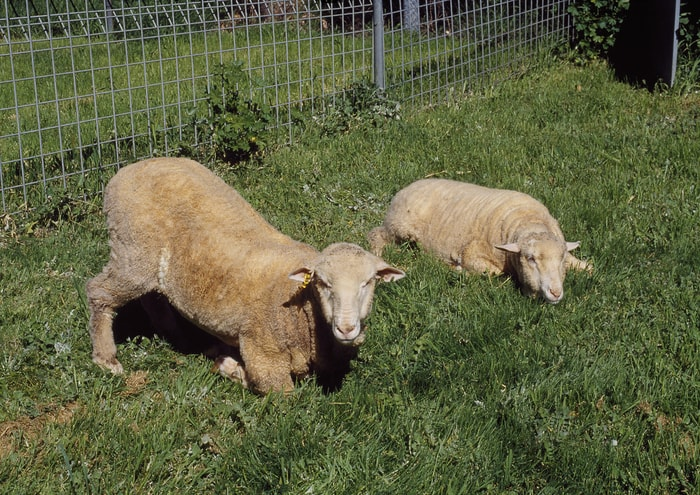 Transmission of Foot-rot in Sheep
