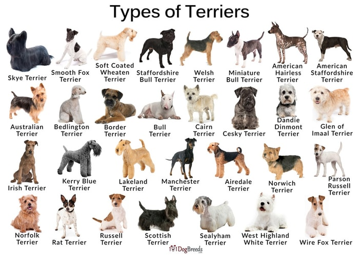 Types of Terrier Dogs