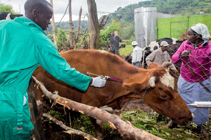 Vaccination of Foot and Mouth Disease in Cattle