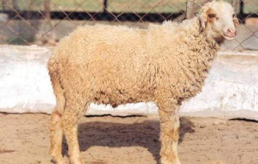 Bikaneri Sheep