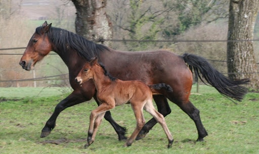 Cleveland Foal