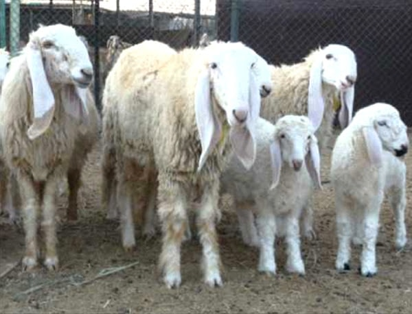 Lohi Sheep