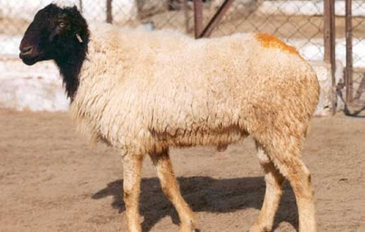 Marwari Sheep of India