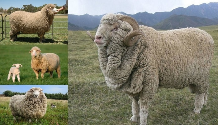 Merino Sheep Breeds