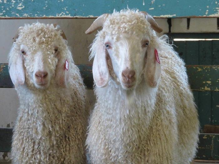 Origin of Angora Goats