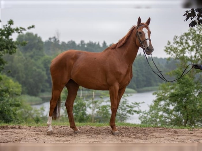 Physical Characteristics of Horse