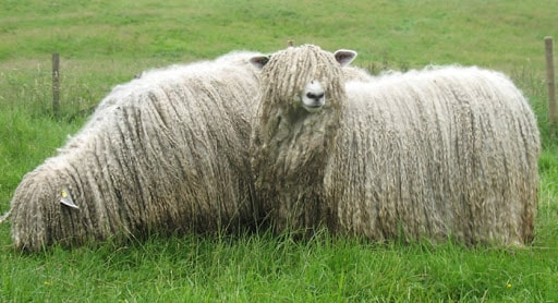 Sheep Breeds Lincoln