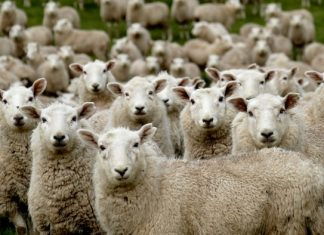 Sheep Breeds of the World