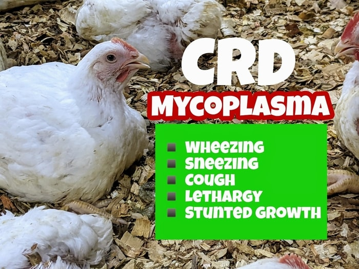 Clinical Signs of CRD and Mycoplasma