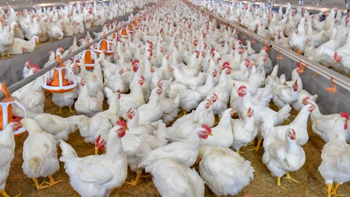 Infectious Bursal Disease in Chicken