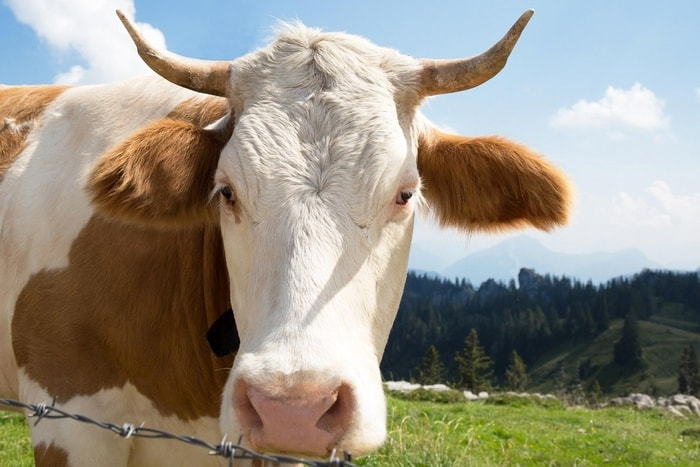 Beef Cattle Prone to Viral Disease