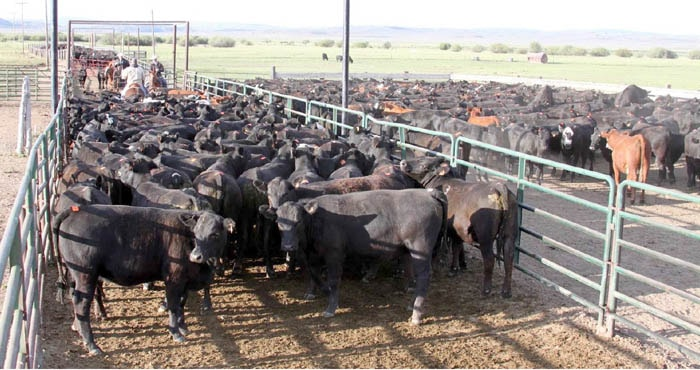 Causes of Actinobacillosis in Cattle