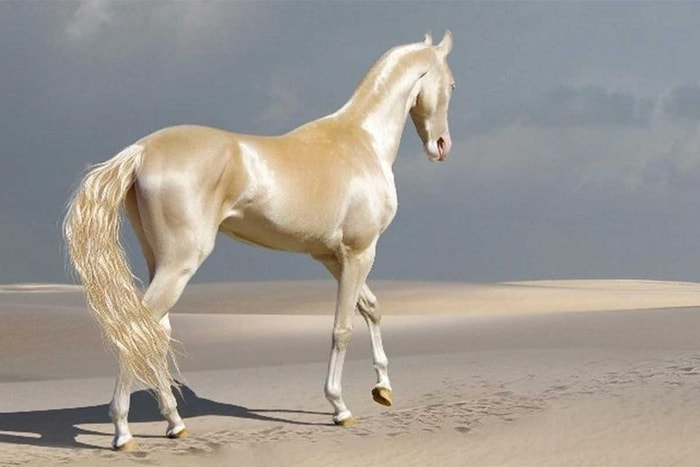 Height and Weight of Akhal Teke