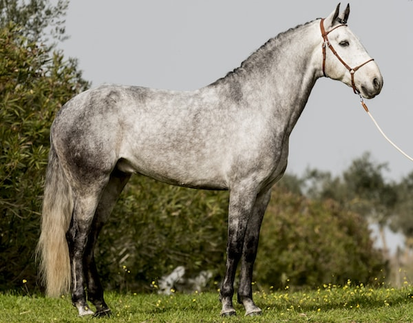 Physical Characteristics of Lusitano Horse