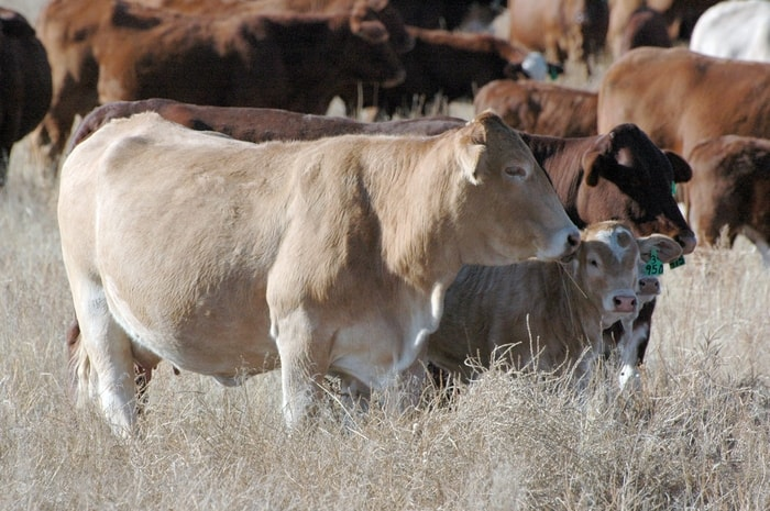 Prevention and Control of Lumpy Jaw in Cattle