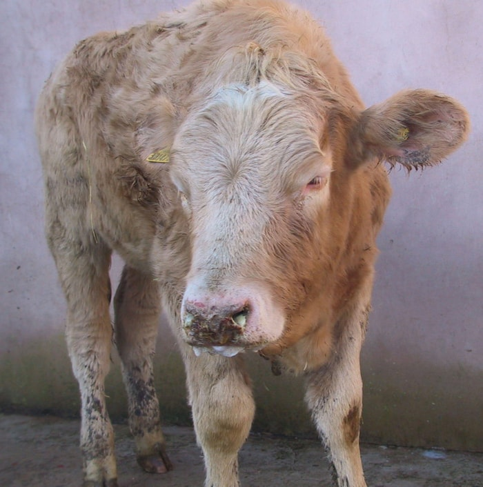 Buffaloes affected by Malignant Catarrh