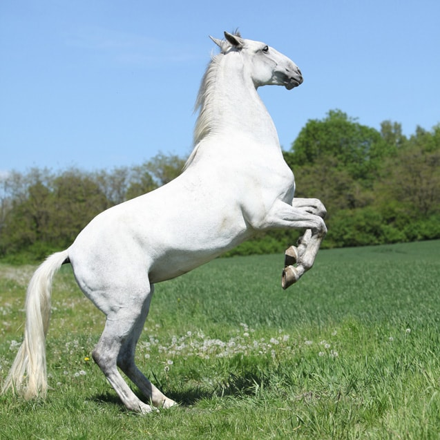 Color and Markings of Lipizzan Horse