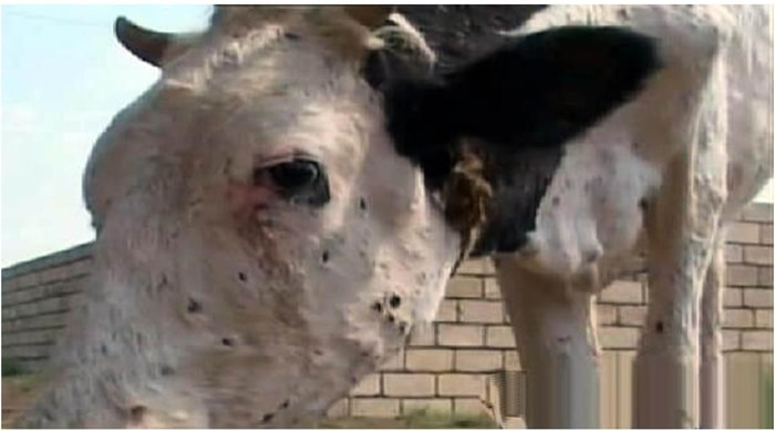 Cow Pox Infection